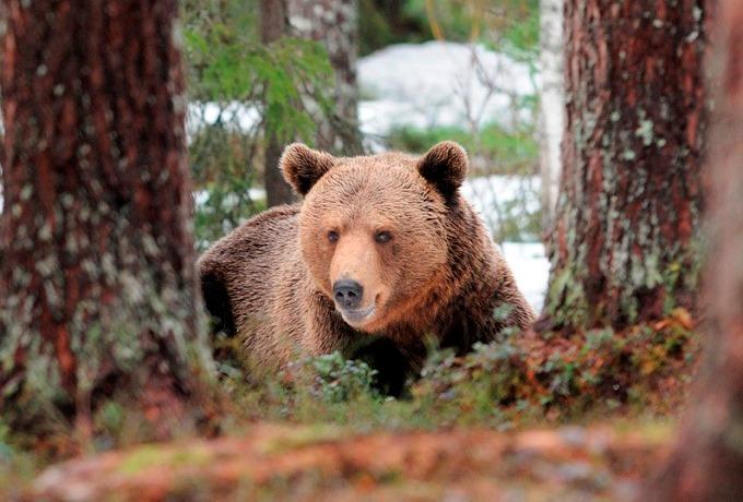 L'orso, animali parco d'abruzzo
