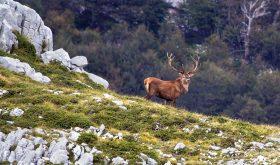 cervo, animali del parco d'abruzzo