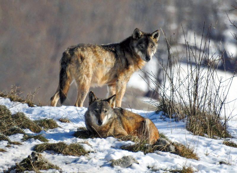 Lupo, animali del parco d'abruzzo