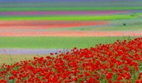 fioritura castelluccio